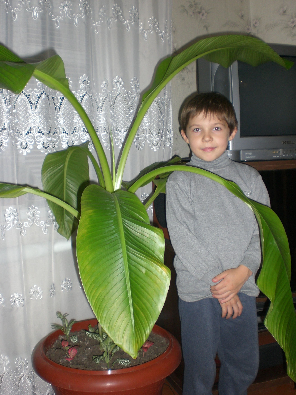 Бананы в домашних условиях выращивание 75