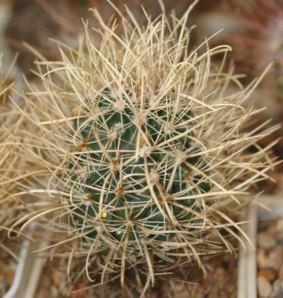 Ancistrocactus sp. Terrel.jpg